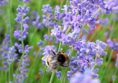 Insektenfreundliche Pflanzen für den Garten